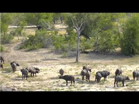 Jan 24 Djuma Cam Lions launch attack on buffalo herd