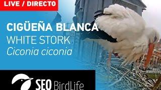 Cigüeña blanca - Alcalá de Henares