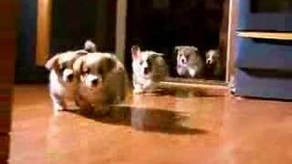 5 little welsh corgi  pembroke puppies