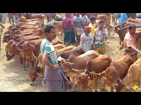 165  The line for the sale of calves   Asia's largest cow-calf market