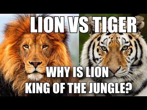 Xxx Mp4 शेर को जंगल का राजा क्यों माना जाता है LION VS TIGER HINDI 3gp Sex