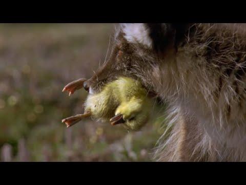 Arctic Fox Kills Snow Goose Chicks Planet Earth BBC Earth