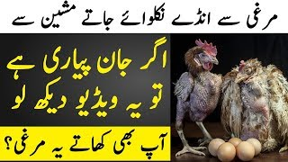 Dangerous Health Effects of Broiler Chicken on Human Body Explained | TUT
