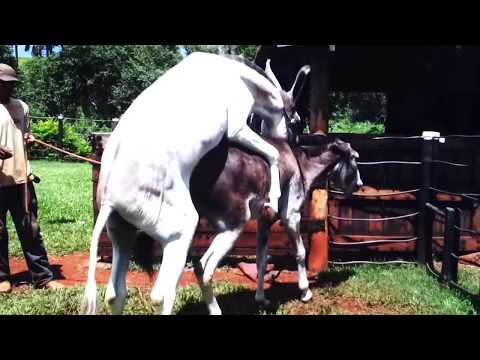 Hybrid Horse Donkey Mating with Burro