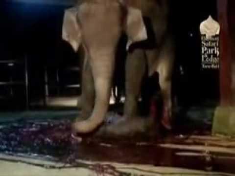 ولادة طبيعية للفيل وأكثر Elephant is Giving Birth