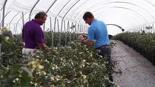 Wish Farms Misty Organics Blueberry Farm