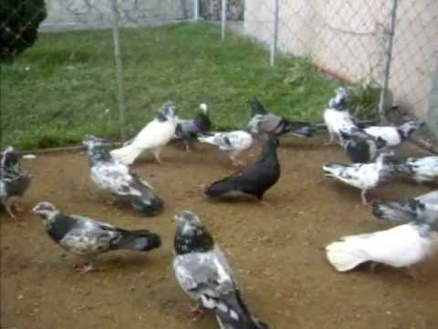 Pellumbat e Afrimit Gjilan Acrobatic Rotational Kosovo Pigeon