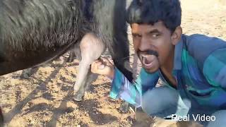 how to get buffalo and goat milking process fresh milk real video in village