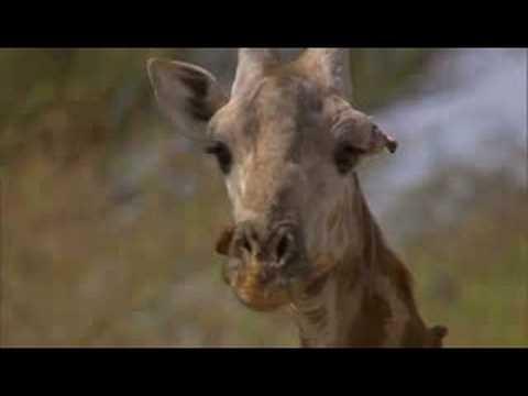 Bird eat giraffe alive