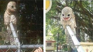 The great potoo is one weird-looking bird