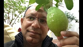 আমেরিকাতে পেয়ারা, এলাচি লেবু গাছ। শীতে কি করি। Winter care for Citron Tree