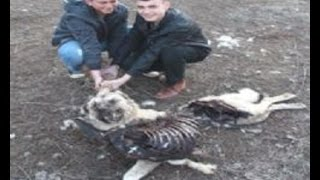 Pack of Wolves Killed Kangal Dogs & Sheep Flock  in Turkey!!!
