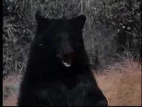Bear vs Puma