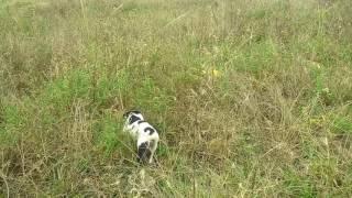 Caçada de perdiz com a cachorra Joia.