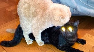 Cats Mating. Emil & Black Cat with Demon