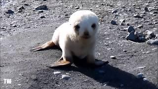 Baby Albino Seal Playing On The Beach!