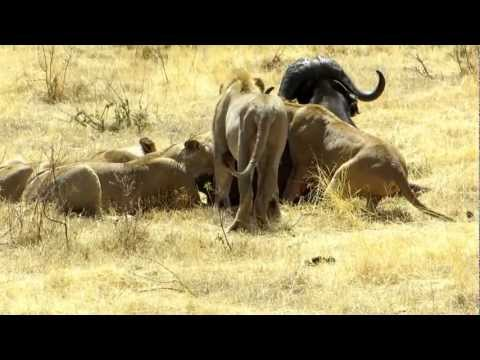 Lions catch and kill buffalo in Ngorongoro crater