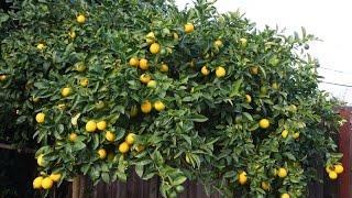 Ours lemon plant import from America +923219442750 Zain Ali farming in Pakistan