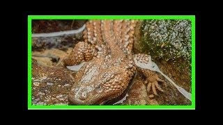 Pet trade threatens unusual lizard