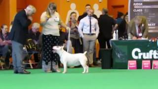 Crufts 2017 Bull Terrier Standard Bitch Female Girl classes World Class  dog show showing
