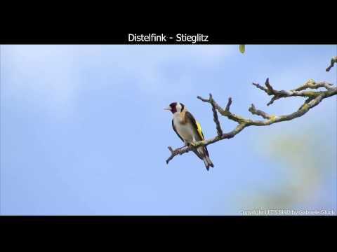 Distelfink Stieglitz mit Gesang European goldfinch singing Carduelis carduelis 1080p HD