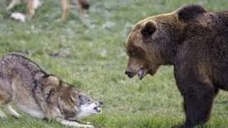 Grizzly Bears Vs Wolves National Geographic Documentary HD