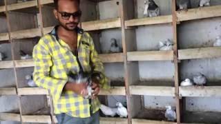 Indian Pigeons Khalid Z Saiyd Surat 2 2016