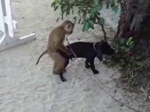 Un singe veut du sexe avec un chien