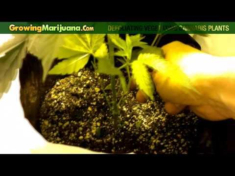 How To Grow Marijuana - Defoliating Vegetating Cannabis Plants
