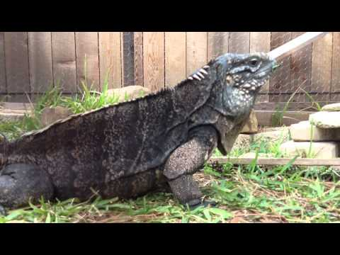 Unboxing Video: Female Rock Iguana