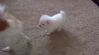 Cute pomeranian puppy plays with Parents - Watching a puppy grow