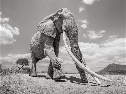 Xxx Mp4 Photographer Captures Kenya 39 S Majestic 39 Elephant Queen 39 Days Before She Dies Of Natural Causes Ne 3gp Sex
