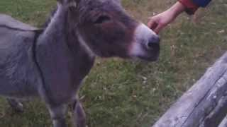 Super cute tiny donkey is happy to see us - Braying donkey