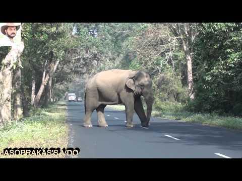 Xxx Mp4 Elephant Disturbed By Truck Driver Jaso S VDO 3gp Sex