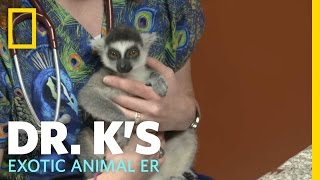 A Leaping Lemur   Dr. K's Exotic Animal ER