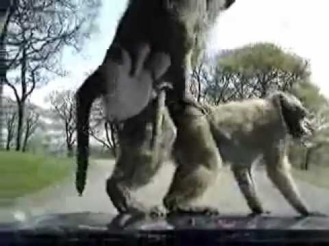 Two Monkeys Fucking on the hood of a car with kids inside!!!