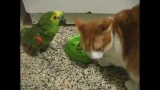 EPIC! Parrot vs Cat food fight.