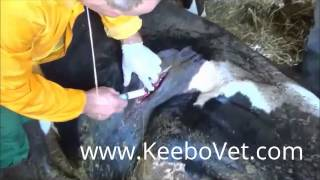 Rumenotomy In Cow -  Stomach Surgery Procedure Perform By Veterinarian Doctor