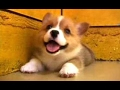 Puppies Barking A Cute Dogs Barking Videos Compilation CUTE mp3