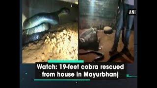 Watch: 19-feet cobra rescued from house in Mayurbhanj - #Odisha News