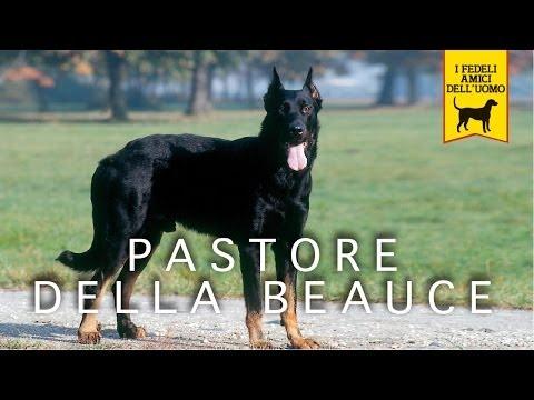 PASTORE DELLA BEAUCE trailer documentario