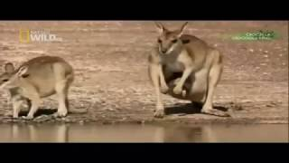 Crocodile attacks and kills kangaroo in seconds