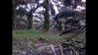 ayam hutan teleng