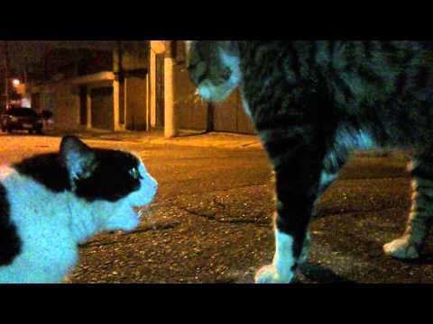 Briga de gatos selvagens