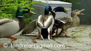 Canard colvert - Parade et accouplement. I need you to SUSCRIBE! Thanks
