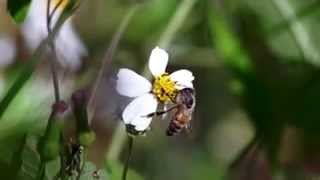 Free Honey Bees Pollination Stock Footage HD Download