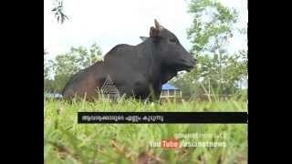 Kasaragod Dwarf cattle : Chuttuvattom News