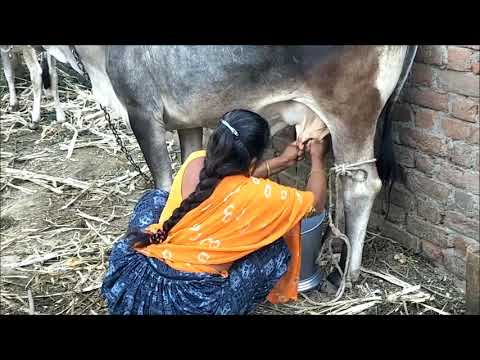 Xxx Mp4 Indian Young Woman Cow Milking Full Length Live Hd Video 3gp Sex