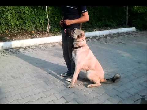 Profesyonel Köpek Eğitim - Sivas Kangal | www.kankakopek.com