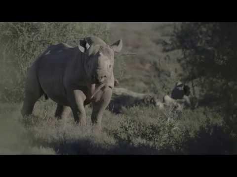 Desert-adapted black rhino in the Karoo